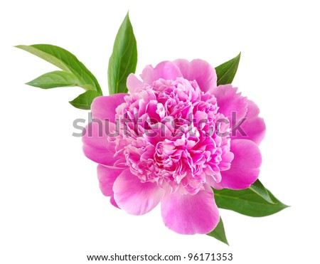 pink peony flower isolated on white - stock photo