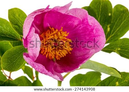 Pink peony flower, isolated on white background - stock photo