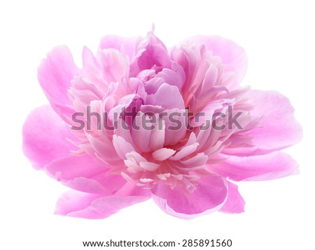Pink peony flower isolated on white background. Angle view. - stock photo