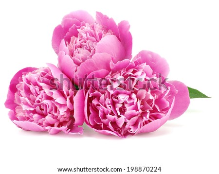 Pink peony flower on a white background - stock photo
