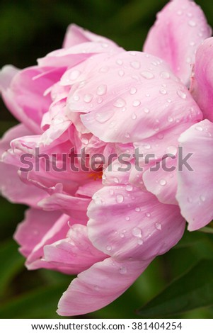 Pink peony flower with water drops after rain. Selective focus, close-up. - stock photo