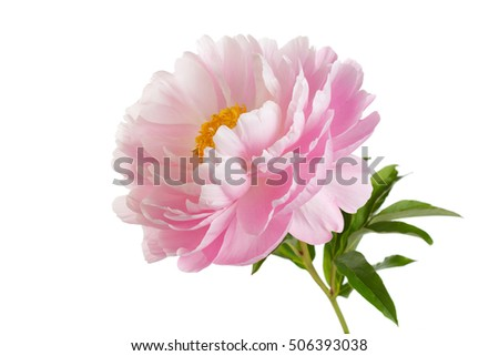 Pink peony flower with yellow stamens stem and leaves isolated on white background.