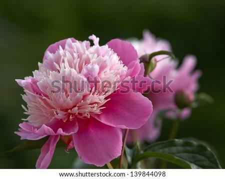 Pink peony flowers - stock photo