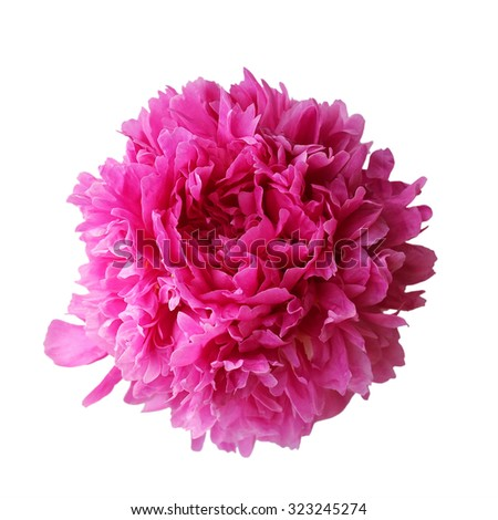 Pink peony isolated on white background - stock photo