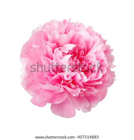 pink peonies stock images, royalty-free images & vectors