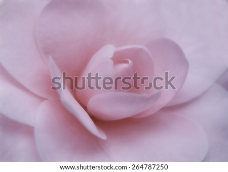 Pink Peony - Soft Focus - stock photo
