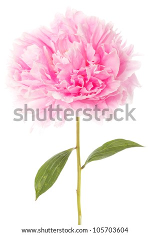 Pink peony with two green leaves over a white background - stock photo