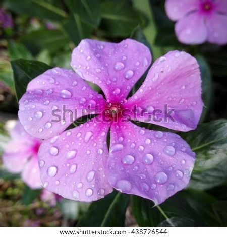 Pink periwinkle flower with rain drops