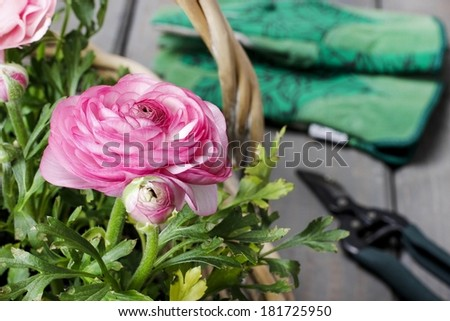 Pink persian buttercup flowers and garden and garden accessories