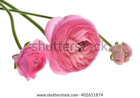 pink persian buttercup flowers (Ranunculus ) isolated on white background. - stock photo