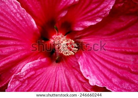 pink petal and anther with pistil of hibiscus flower - stock photo