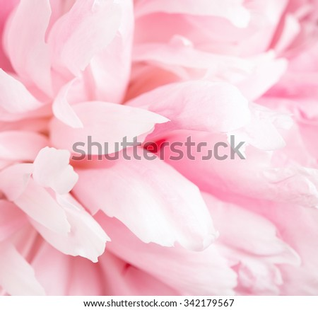 Pink petals of a peony close up as a background for design