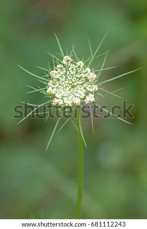 Pink petals surround the  tiny lace like flowers of a Queen Anne's Lace. Hidden in the center of the flat-topped umbel, a solitary purple flower blossoms.