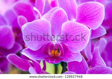 Pink Phalaenopsis orchids , Genus hybrid has two Formosae Vandaenopsis - stock photo