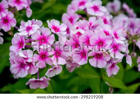 Pink Phlox flower - genus of flowering herbaceous plants - stock photo