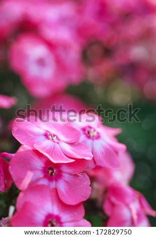 Pink Phlox flower - genus of flowering herbaceous plants, close-up, selective focus - stock photo