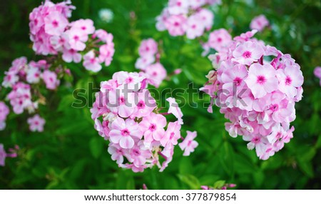Pink phlox flowers. Phlox paniculata. Flowering herbaceous plants. Blooming phlox paniculata in the garden. Shallow depth of field. Selective focus. - stock photo