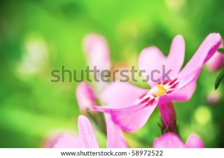 Pink Phlox subulata close-up - stock photo