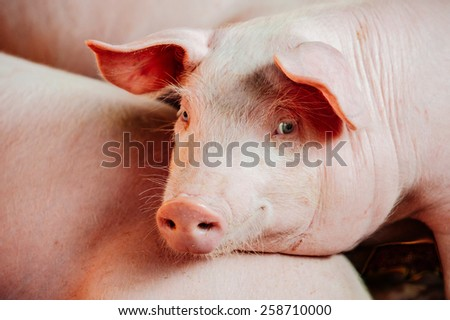 Pink pig - stock photo