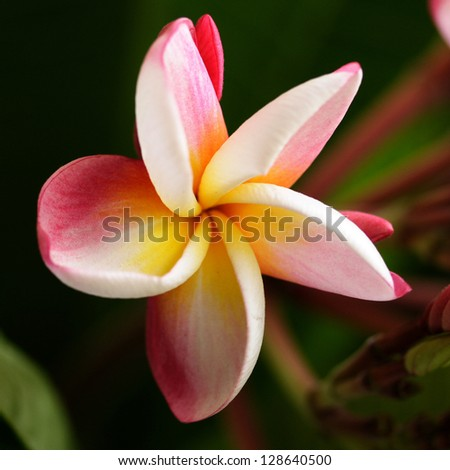 Pink Plumeria Flower - stock photo