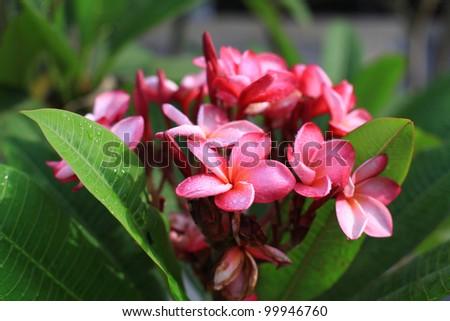 Pink Plumeria Flower - stock photo