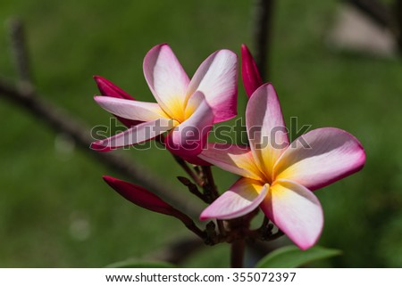 Pink Plumeria flower in sunny day over green background