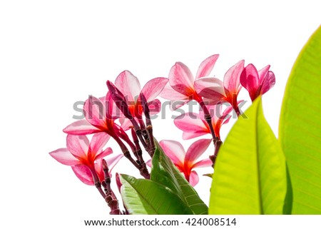 pink plumeria flower with nature background