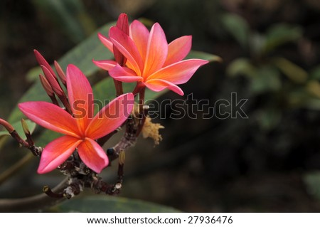 Pink Plumeria Flowers used for Hawaiian flower leis. - stock photo