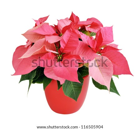 Pink poinsettia in a red pot isolated on white