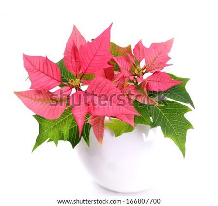 Pink poinsettias  - stock photo