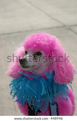 Pink poodle - stock photo