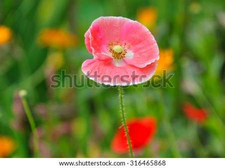 pink poppy in summer flower bed closeup - stock photo