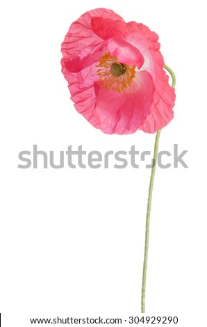 pink poppy isolated on white - stock photo