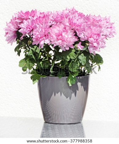 Pink potted Asters flower in beautiful flowerpot at summer sunny day - stock photo