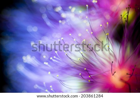pink powder puff flower and blue background - stock photo
