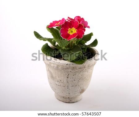 Pink Primrose plant - stock photo