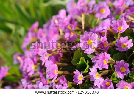 Pink primrose (primula vulgaris) flowers in growing in the garden - stock photo