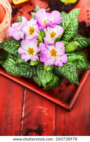 Pink primula with soil on red wooden background - stock photo