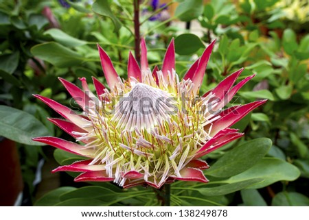 Pink protea plant (Cynaroides) in bloom. - stock photo