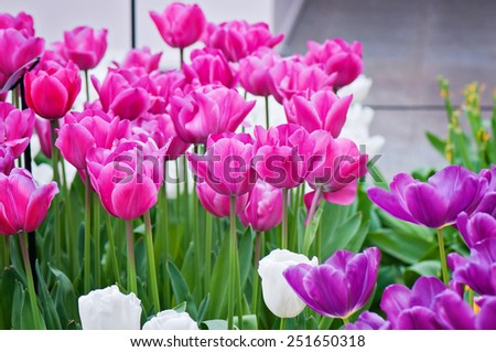 Pink, purple and white tulips on the flowerbed in Keukenhof Holland spring flower park - stock photo