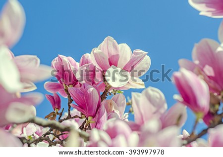 Pink, purple Magnolia tree flowers, branch, blue sky, sunny day, spring time, family Magnoliaceae.