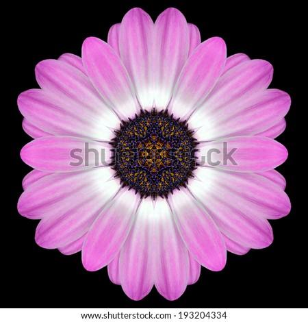 Pink Purple Mandala of Daisy Flower with Dark Center. Kaleidoscopic design Isolated on Black Background - stock photo