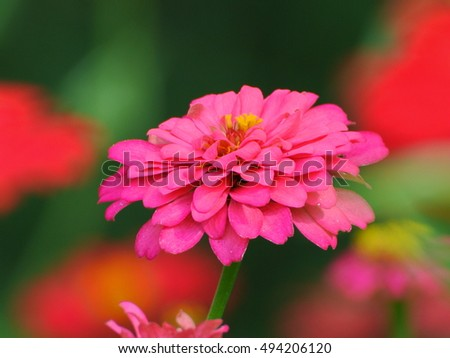 Pink-purple zinnia flower with nature multticolor background in my flower garden, rural area of central Thailand. Beautiful bright color flower on sunshine day.
