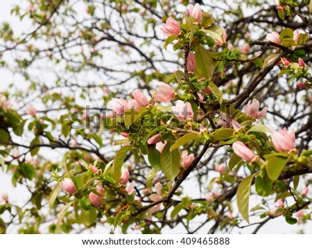 Pink Quince flowers