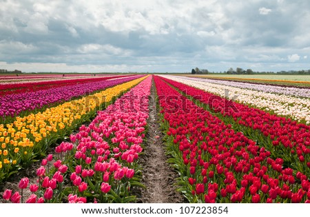 pink, red and orange tulip field in North Holland during spring - stock photo