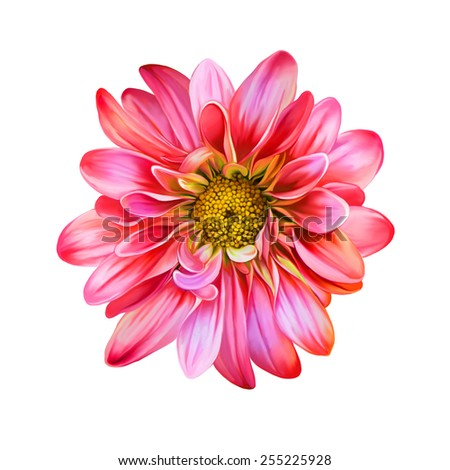 Pink Red chrysanthemum flower, Yellow flower, Spring flower.Isolated on white background. Vector golden-daisy