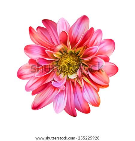 Pink Red chrysanthemum flower, Yellow flower, Spring flower.Isolated on white background. Vector golden-daisy - stock photo