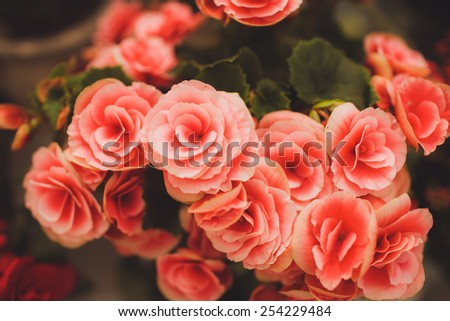 pink red eustoma green leaf  outdoors - stock photo