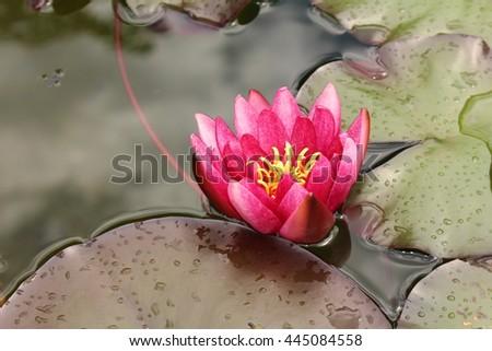 "Pink-red hybrid ""Waterlily"" flower in St. Gallen, Switzerland. Its Latin name is Nymphaea Atropurpurea. - stock photo"