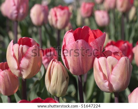 Pink red tulips in a field - stock photo